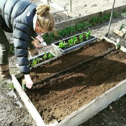 Sowing carrot 1