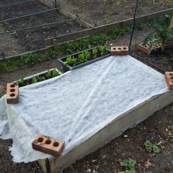 Sowing carrot 6