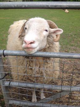 Sheep - new