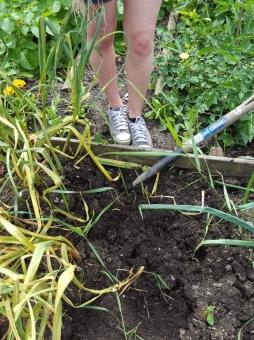 Garlic digging