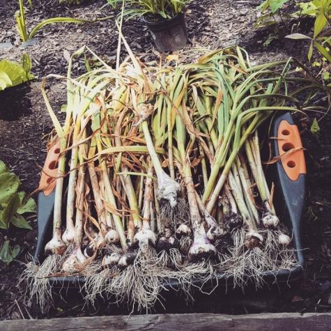 Garlic full harvest