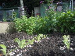 Lettuce shady area