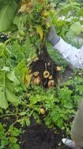 Potato front cover