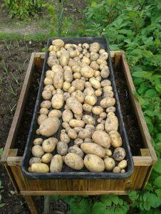 Potato in tray