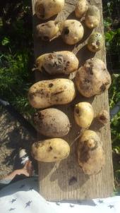 potato ugly